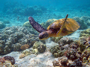 Hawaii_turtle_2 (1)
